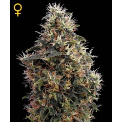 Sweet Mango Automatic - Green House Seeds - Autoflower Feminiseret Cannabis frø 5 & 10 stk.