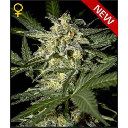 White Widow x Ruderalis - Green House Seeds - Autoflower Feminiseret Cannabis frø 5 & 10 stk.