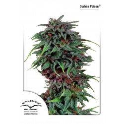 Durban Poison - Dutch Passion - Feminiseret Cannabis frø 5 & 10 stk.