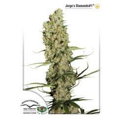 Jorge's Diamonds 1 - Dutch Passion - Feminiseret Cannabis frø 5 & 10 stk.