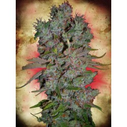 Auto Blueberry Domina - Ministry of Cannabis - Autoflower Feminiseret Cannabis Frø - 2 & 5 stk.