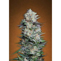 Mexican Airlines - Fast Buds - Autoflower Feminiseret Cannabis frø - 5 & 10 stk.