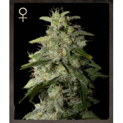 Money Maker - Strain Hunters - Feminiseret Cannabis Frø - 5 & 10 stk.