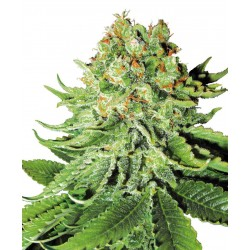 Northern Lights Automatic - Sensi Seeds - Feminiseret Cannabis Frø - 5 & 10 stk.