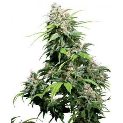 California Indica - Sensi Seeds - Regular Cannabis Frø - 10 stk.