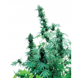 Early Skunk - Sensi Seeds - Regular Cannabis Frø - 10 stk.