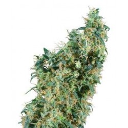First Lady - Sensi Seeds - Regular Cannabis Frø - 10 stk.