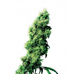 Four Way - Sensi Seeds - Regular Cannabis Frø - 10 stk.