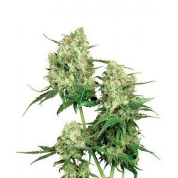 Maple Leaf - Sensi Seeds - Regular Cannabis Frø - 10 stk.