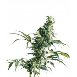 Mexican Sativa - Sensi Seeds - Regular Cannabis Frø - 10 stk.
