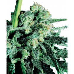 Sensi Skunk - Sensi Seeds - Regular Cannabis Frø - 10 stk.