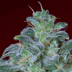 Magic Bud - Paradise Seeds - Feminiseret Cannabis Frø - 5 & 10 stk.
