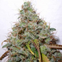 White Berry - Paradise Seeds - Feminiseret Cannabis Frø - 5 & 10 stk.