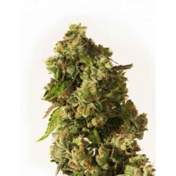 OG Reek´n - Devil´s Harvest - 10 stk. Regular