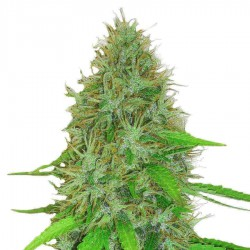 2 Fast 2 Vast - HEAVYWEIGHT SEEDS - Autoflower Feminisert Cannabisfrø 5 & 10 stk.