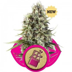 Chocolate Haze - Royal Queen Seeds - Feminisert Cannabis frø 1-3-5 & 10 stk.