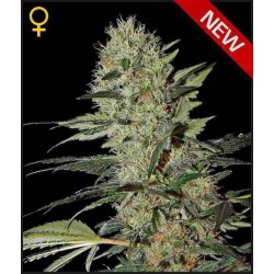 Exodus Cheese Auto - Green House Seeds - Autoflower Feminiseret Cannabis frø 5 & 10 stk.