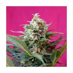 Big Devil XL Auto - Sweet Seeds - 5 & 10 stk. Autoflower Feminiseret Cannabisfrø