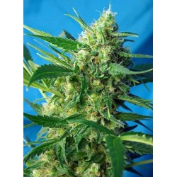 Ice Cool Auto - Sweet Seeds - 5 & 10 stk. Autoflower Feminiseret Cannabisfrø