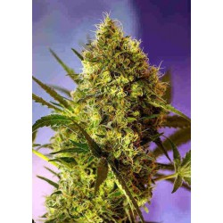Big Devil Auto - Sweet Seeds - 5 & 10 stk. Autoflower Feminiseret Cannabisfrø