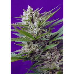 Speed Devil Auto - Sweet Seeds - 5 & 10 stk. Autoflower Feminiseret Cannabisfrø