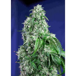 Big Devil Fast Version - Sweet Seeds - 5 & 10 stk. Feminiseret Cannabisfrø