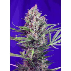 Cream Manderine Fast Version - Sweet Seeds - 5 & 10 stk. Feminiseret Cannabisfrø