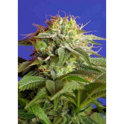 Green Poison Fast Version - Sweet Seeds - 5 & 10 stk. Feminiseret Cannabisfrø