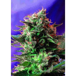 Jack 47 Fast Version - Sweet Seeds - 5 & 10 stk. Feminiseret Cannabisfrø
