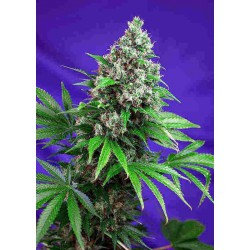 Killer Kush Fast Version - Sweet Seeds - 5 & 10 stk. Feminiseret Cannabisfrø