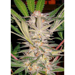 S.A.D Sweet Afgani Delicious - Sweet Seeds - 5 & 10 stk. Feminiseret Cannabisfrø