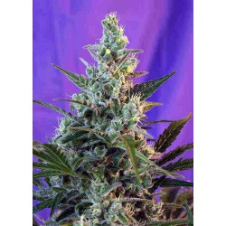 Sweet Skunk Fast Version - Sweet Seeds - 5 & 10 stk. Feminiseret Cannabisfrø