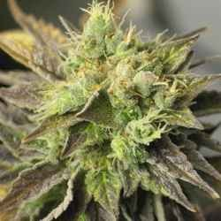 Strawberry D-Lite - Sagarmatha Seeds - 5 & 10 stk. Feminiseret Cannabisfrø