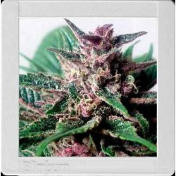 Grizzly Purple auto - Blimburn Seeds - 3, 6 & 9 stk. Autoflower Feminiseret Cannabisfrø