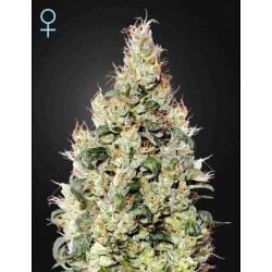 Exodus Cheese Auto CBD - Green House Seeds - Autoflower Feminiseret Cannabis frø 5 & 10 stk.