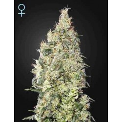 Great White Shark CBD - Green House Seeds - Feminiseret Cannabis frø 5 & 10 stk.