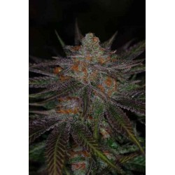 Ripped Bubba - TGA Subcool seeds - 5 stk. Regular