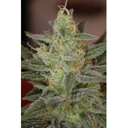 Dairy Queen - TGA Subcool seeds - 5 stk. Regular