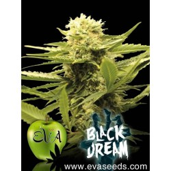 Black Dream - Eva Seeds - 3 & 6 stk. Feminiseret Cannabisfrø
