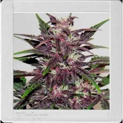 Grizzly Purple Kush - Blimburn Seeds - 3, 6 & 9 stk. Feminiseret Cannabisfrø