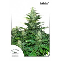 Dark Delight - Dutch Passion - 3 stk. Feminiseret Cannabis frø.