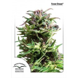 Forest Dream - Dutch Passion - 3 stk. Feminiseret Cannabis frø.
