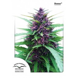 Shaman - Dutch Passion - 3 stk. Feminiseret Cannabis frø.