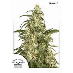 Skunk11 - Dutch Passion - 3 stk. Feminiseret Cannabis frø.