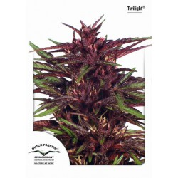 Twilight (Pure indica) - Dutch Passion - 3 stk. Feminiseret Cannabis frø.