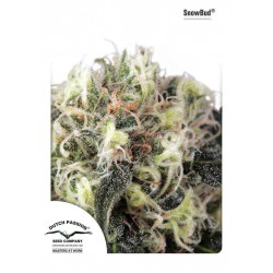 Snowbud - Dutch Passion - 3 stk. Feminiseret Cannabis frø.