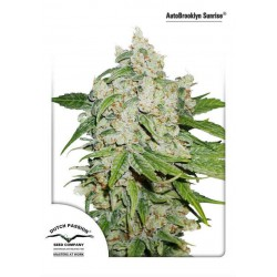 AutoBrooklyn Sunrise - Dutch Passion - 3 & 7 stk Autoflower Feminiseret Cannabis frø.