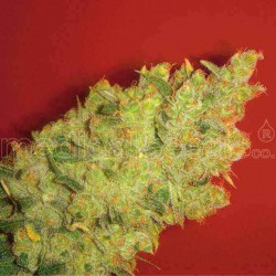 Jack la Mota - Medical Seeds - 5 & 10 stk. Feminiseret Cannabisfrø