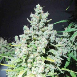 Malakoff - Medical Seeds - 5 & 10 stk. Feminiseret Cannabisfrø
