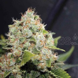 Bcn Sour Diesel - Medical Seeds - 5 & 10 stk. Feminiseret Cannabisfrø